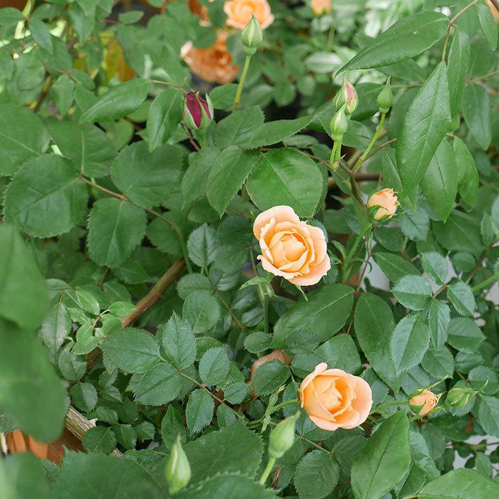 スイートドリーム(ツルバラ)の花が増えてきた。2018年-6.jpg