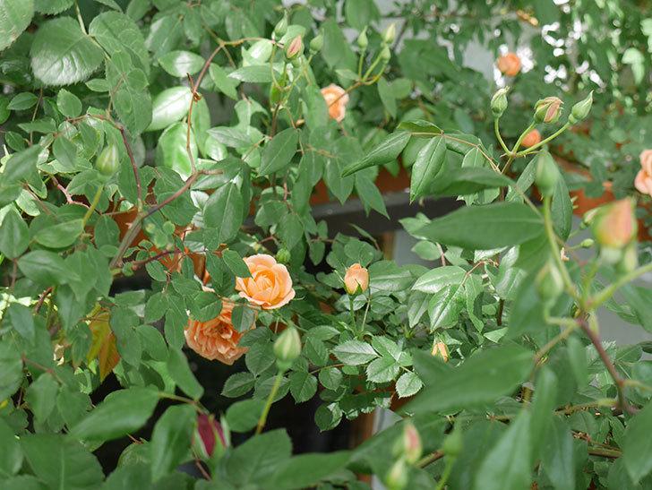 スイートドリーム(ツルバラ)の花が増えてきた。2018年-7.jpg