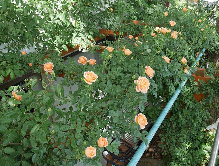 スイートドリーム(ツルバラ)の花が増えてきた。2018年-8.jpg