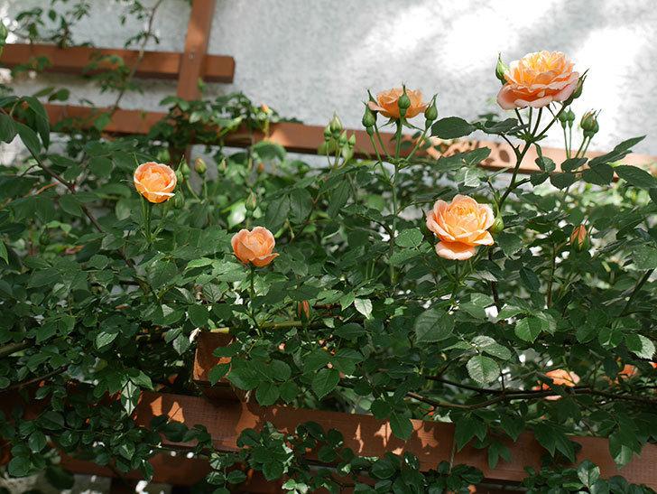 スイートドリーム(ツルバラ)の花が増えてきた。2018年-9.jpg