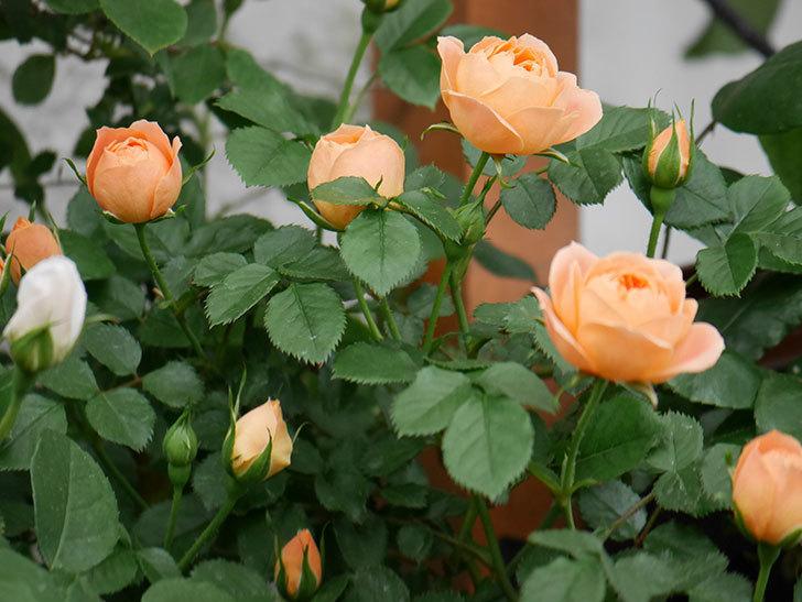 スイートドリーム(ツルバラ)の花が増えて来た。2019年-10.jpg