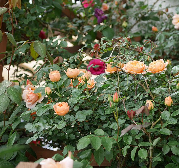 スイートドリーム(ツルバラ)の花が増えて来た。2019年-2.jpg