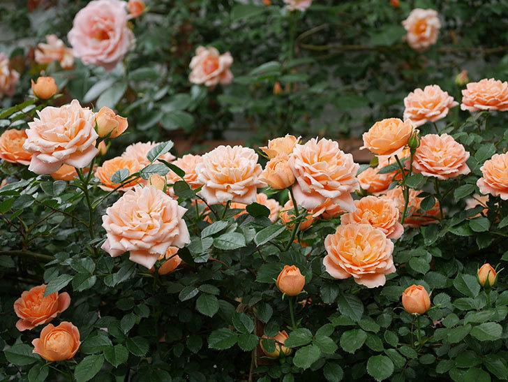 スイートドリーム(ツルバラ)の花が増えて来た。2019年-3.jpg