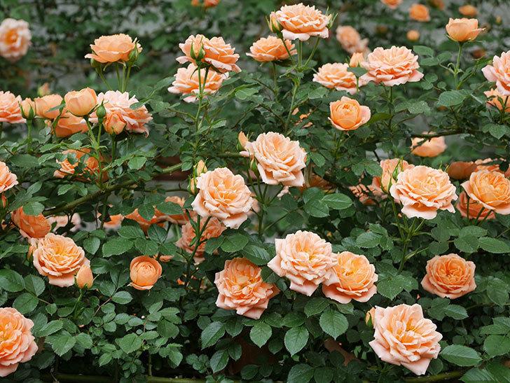 スイートドリーム(ツルバラ)の花が増えて来た。2019年-4.jpg