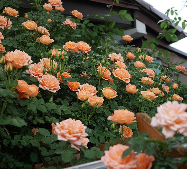 スイートドリーム(ツルバラ)の花が増えて来た。2019年-5.jpg