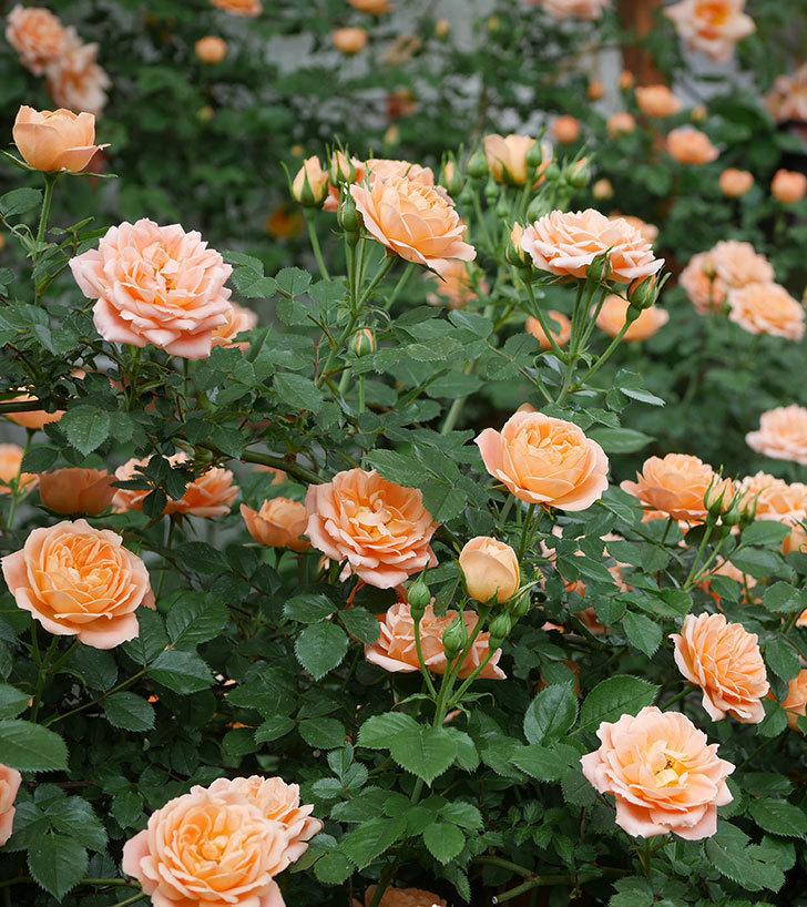 スイートドリーム(ツルバラ)の花が増えて来た。2019年-6.jpg