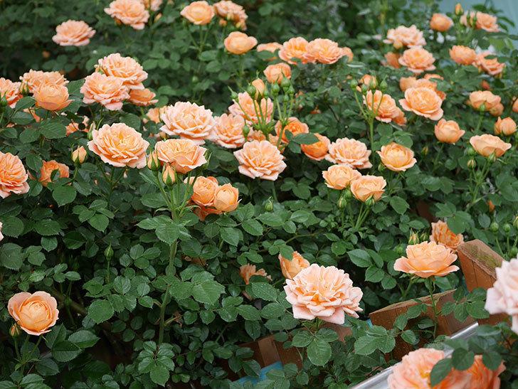 スイートドリーム(ツルバラ)の花が増えて来た。2019年-7.jpg