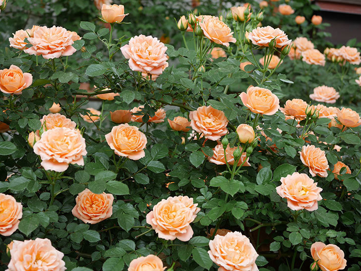 スイートドリーム(ツルバラ)の花が増えて来た。2019年-8.jpg