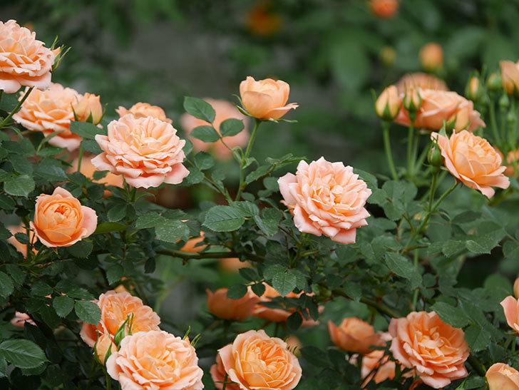 スイートドリーム(ツルバラ)の花が増えて来た。2019年-9.jpg