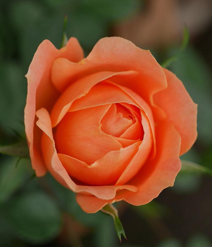 スイートドリーム(ツルバラ)の花が少し咲いた。2019年-2.jpg