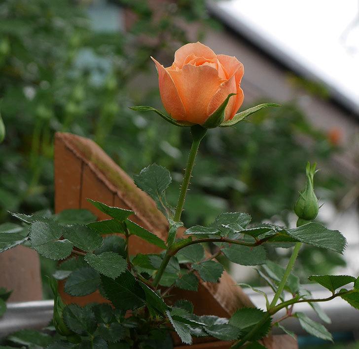 スイートドリーム(ツルバラ)の花が少し咲いた。2019年-3.jpg