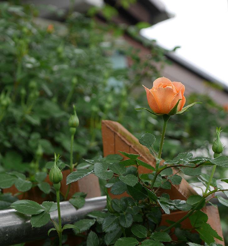 スイートドリーム(ツルバラ)の花が少し咲いた。2019年-4.jpg