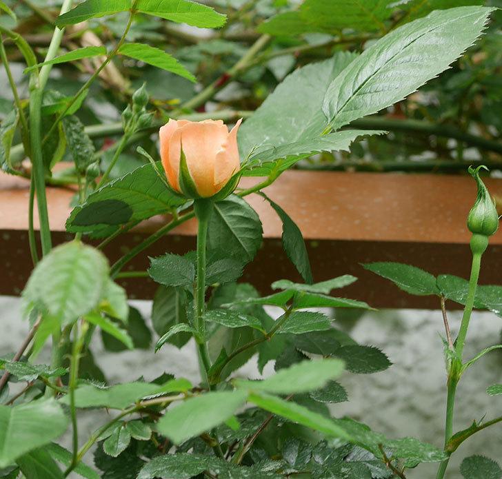 スイートドリーム(ツルバラ)の花が少し咲いた。2019年-5.jpg