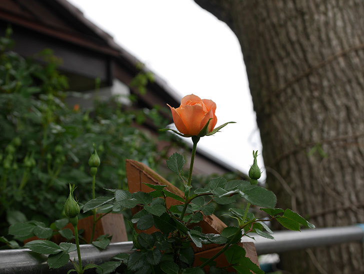 スイートドリーム(ツルバラ)の花が少し咲いた。2019年-6.jpg