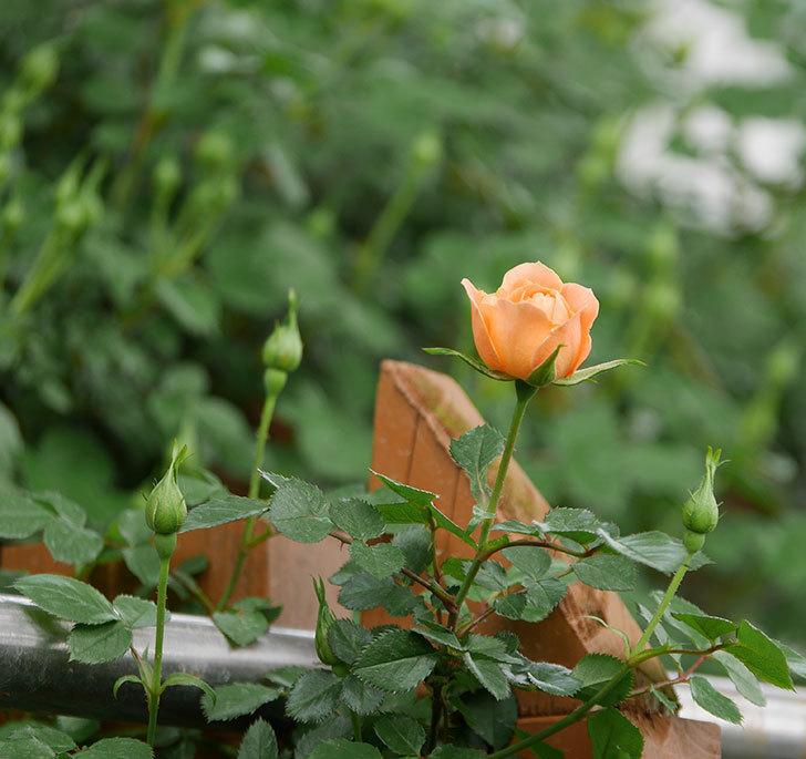 スイートドリーム(ツルバラ)の花が少し咲いた。2019年-7.jpg