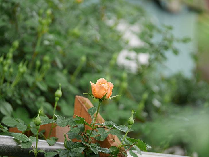 スイートドリーム(ツルバラ)の花が少し咲いた。2019年-8.jpg