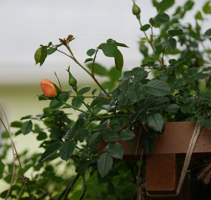 スイートドリーム(ツルバラ)の花が少し咲いた。2019年-9.jpg