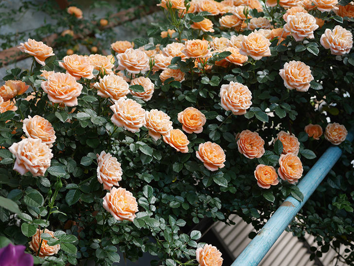 スイートドリーム(ツルバラ)の花が満開になった。2020年-018.jpg