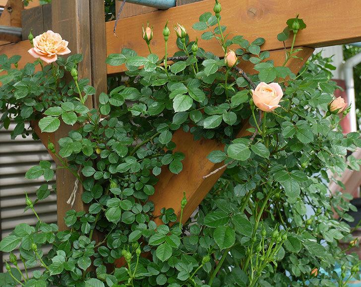 スイートドリーム(ツルバラ)の花が順調に増えてきた。2017年-1.jpg