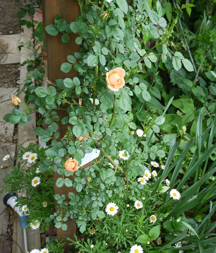 スイートドリーム(ツルバラ)の花が順調に増えてきた。2017年-13.jpg