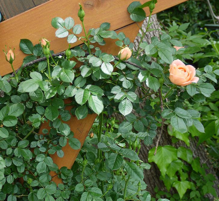 スイートドリーム(ツルバラ)の花が順調に増えてきた。2017年-14.jpg