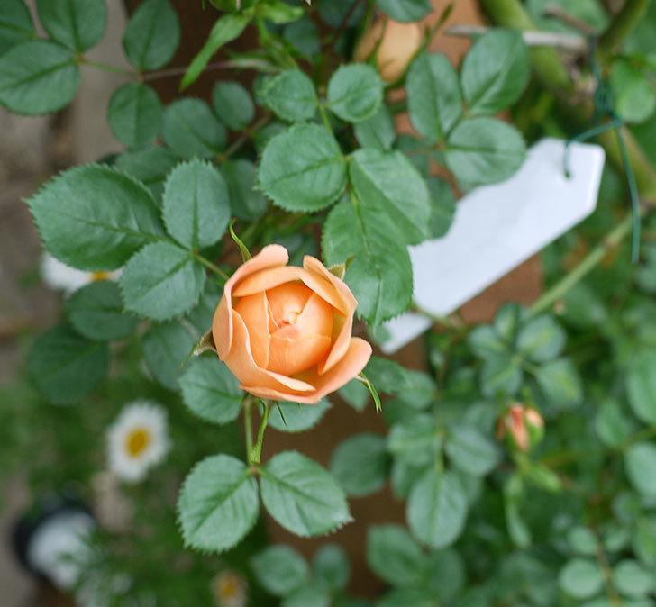 スイートドリーム(ツルバラ)の花が順調に増えてきた。2017年-2.jpg