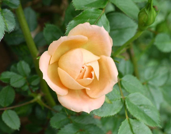 スイートドリーム(ツルバラ)の花が順調に増えてきた。2017年-3.jpg