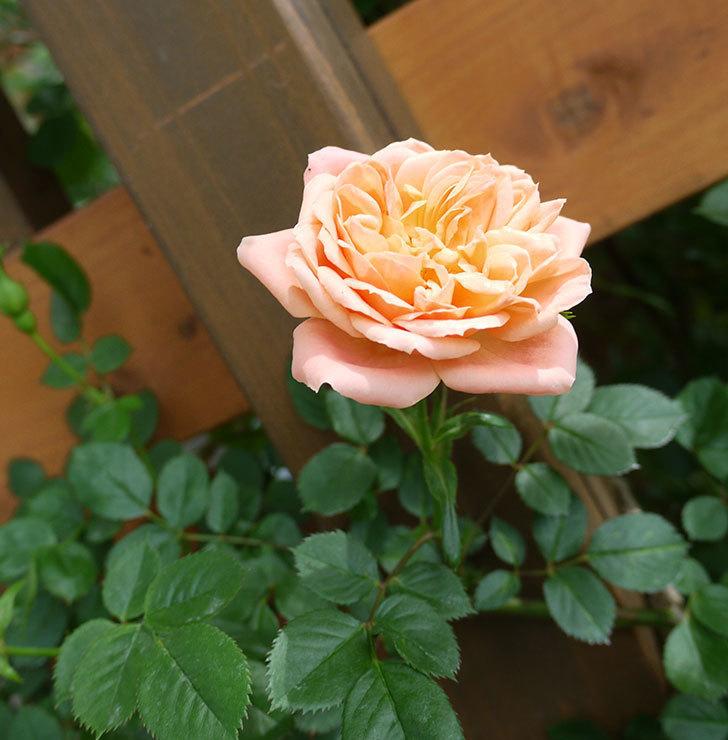 スイートドリーム(ツルバラ)の花が順調に増えてきた。2017年-6.jpg