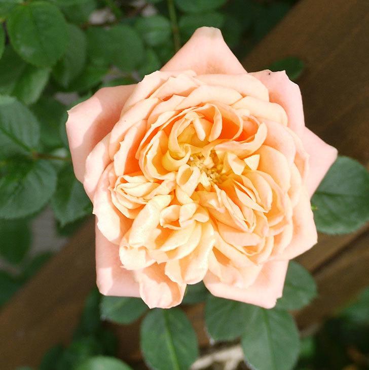 スイートドリーム(ツルバラ)の花が順調に増えてきた。2017年-7.jpg