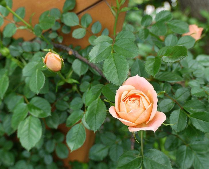 スイートドリーム(ツルバラ)の花が順調に増えてきた。2017年-8.jpg