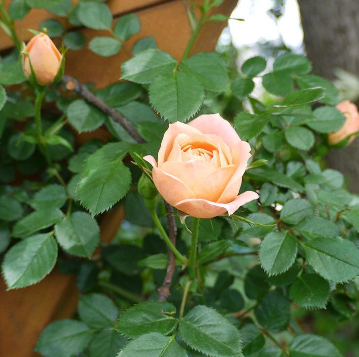 スイートドリーム(ツルバラ)の花が順調に増えてきた。2017年-9.jpg