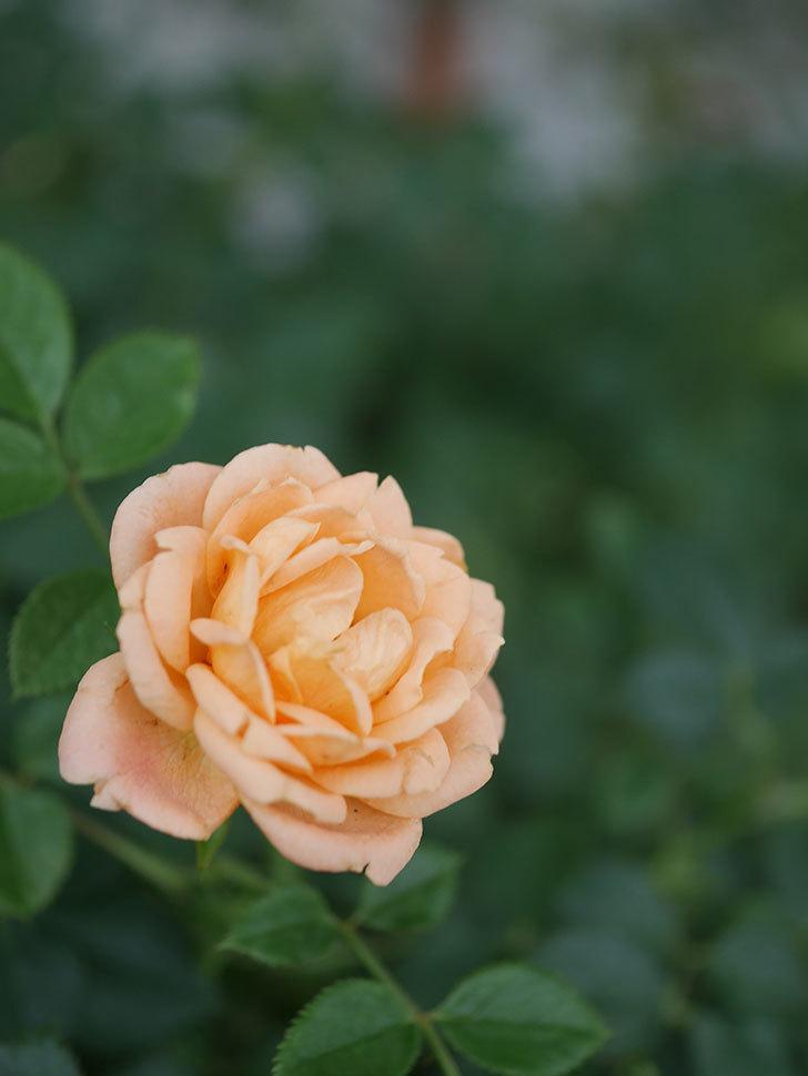 スイートドリーム(Sweet Dream)の2番花が咲いた。2020年。ツルバラ-005.jpg