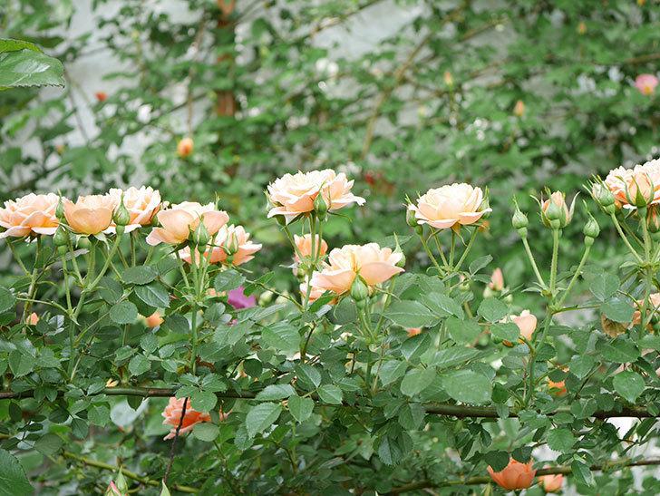 スイートドリーム(Sweet Dream)の花がたくさん咲いた。ツルバラ。2021年-001.jpg