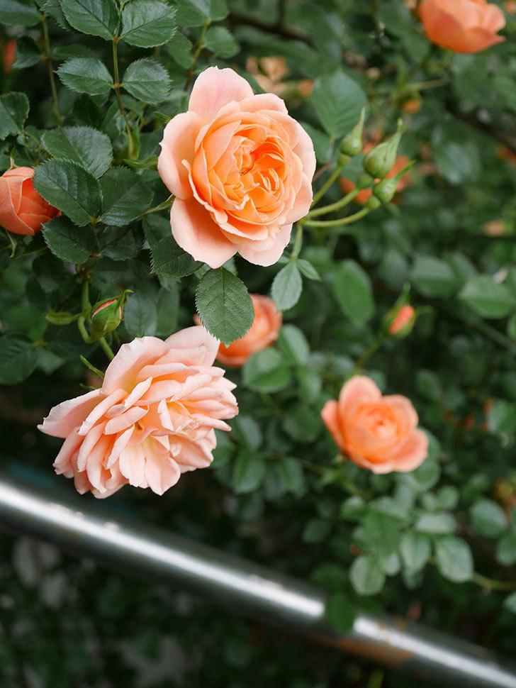 スイートドリーム(Sweet Dream)の花がたくさん咲いた。ツルバラ。2021年-002.jpg
