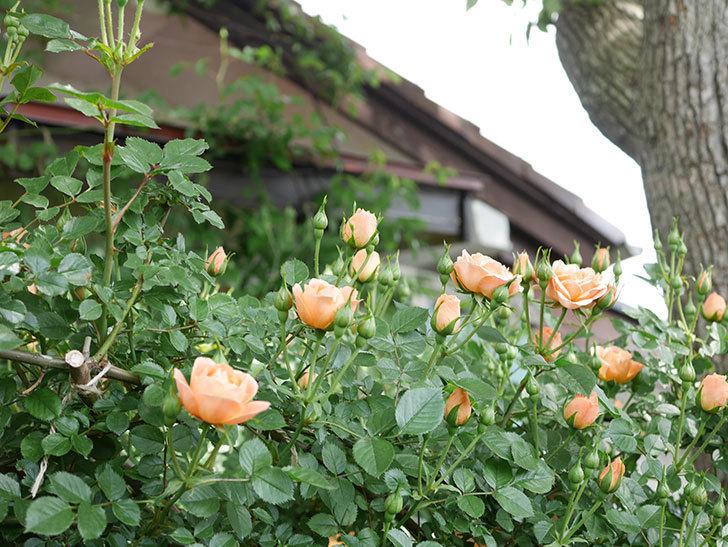 スイートドリーム(Sweet Dream)の花がたくさん咲いた。ツルバラ。2021年-003.jpg