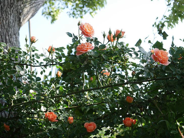 スイートドリーム(Sweet Dream)の花がたくさん咲いた。ツルバラ。2021年-004.jpg