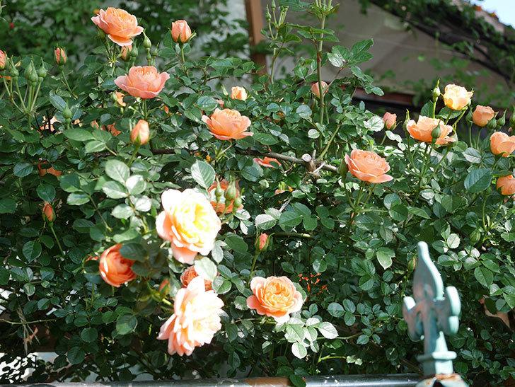スイートドリーム(Sweet Dream)の花がたくさん咲いた。ツルバラ。2021年-005.jpg