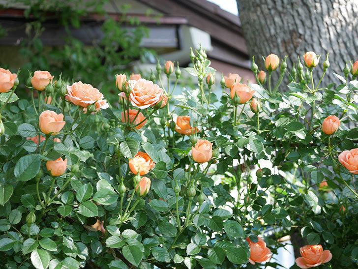 スイートドリーム(Sweet Dream)の花がたくさん咲いた。ツルバラ。2021年-006.jpg