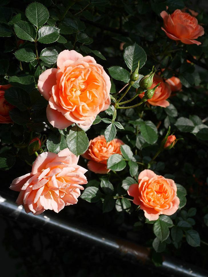スイートドリーム(Sweet Dream)の花がたくさん咲いた。ツルバラ。2021年-007.jpg