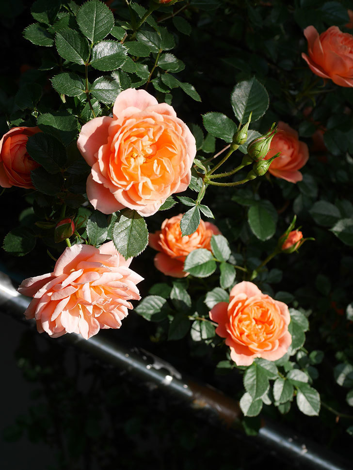 スイートドリーム(Sweet Dream)の花がたくさん咲いた。ツルバラ。2021年-008.jpg