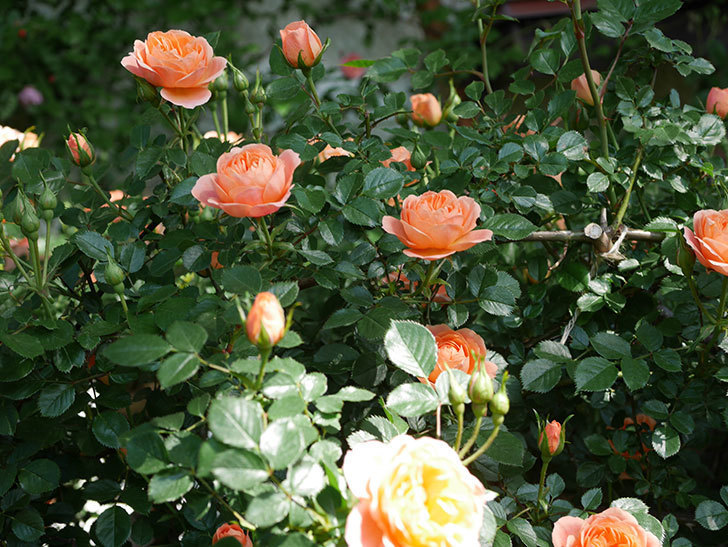 スイートドリーム(Sweet Dream)の花がたくさん咲いた。ツルバラ。2021年-009.jpg