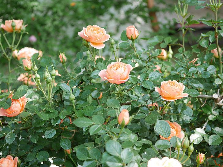 スイートドリーム(Sweet Dream)の花がたくさん咲いた。ツルバラ。2021年-010.jpg