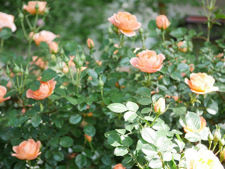 スイートドリーム(Sweet Dream)の花がたくさん咲いた。ツルバラ。2021年-011.jpg
