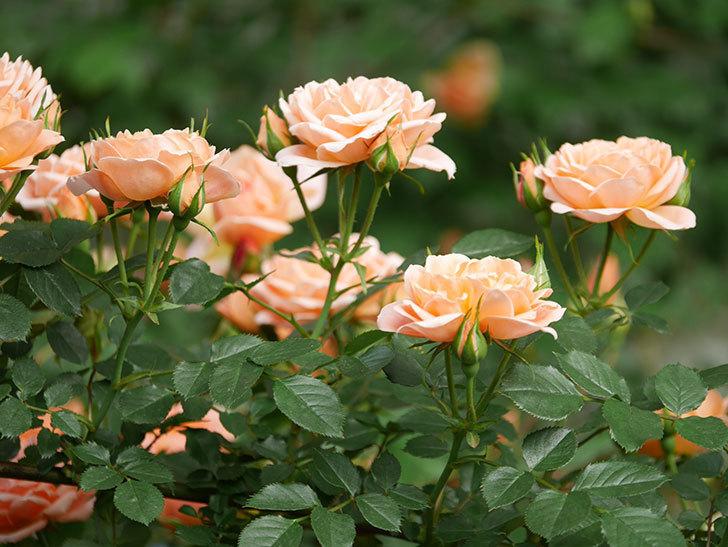 スイートドリーム(Sweet Dream)の花がたくさん咲いた。ツルバラ。2021年-012.jpg