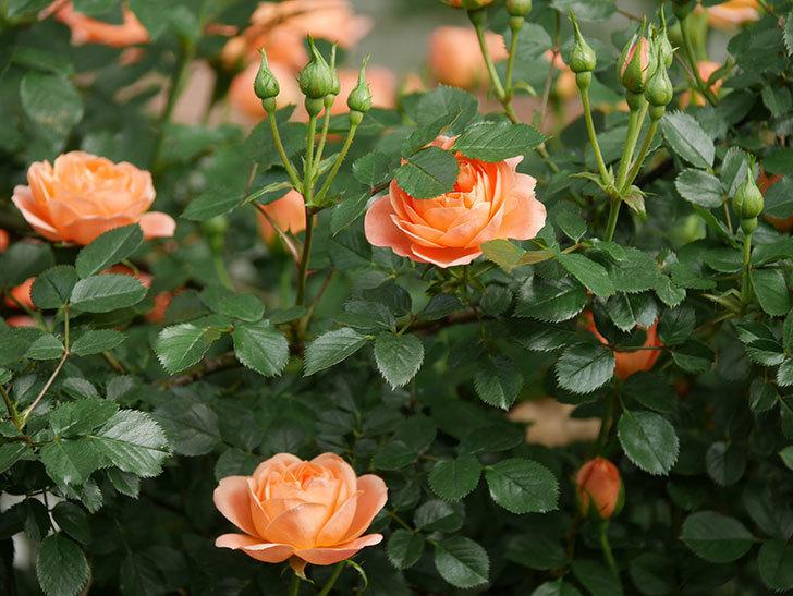 スイートドリーム(Sweet Dream)の花がたくさん咲いた。ツルバラ。2021年-013.jpg