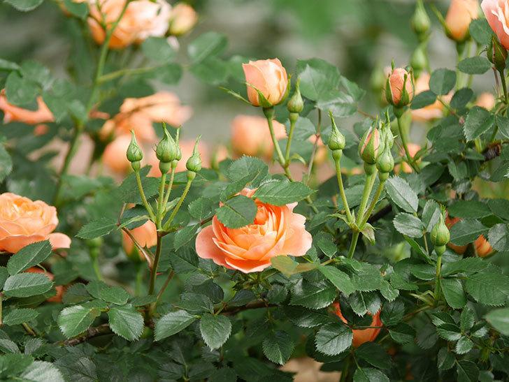 スイートドリーム(Sweet Dream)の花がたくさん咲いた。ツルバラ。2021年-014.jpg