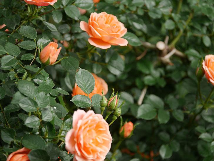 スイートドリーム(Sweet Dream)の花がたくさん咲いた。ツルバラ。2021年-015.jpg