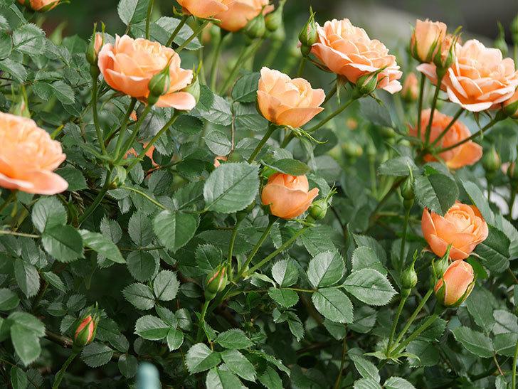 スイートドリーム(Sweet Dream)の花がたくさん咲いた。ツルバラ。2021年-016.jpg