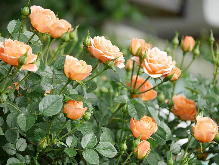 スイートドリーム(Sweet Dream)の花がたくさん咲いた。ツルバラ。2021年-017.jpg