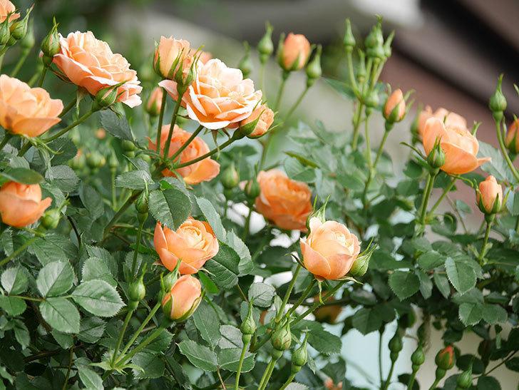 スイートドリーム(Sweet Dream)の花がたくさん咲いた。ツルバラ。2021年-018.jpg